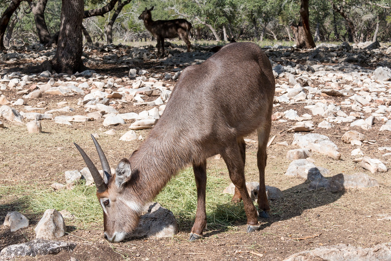 Waterbuck at Natural Bridge Wildlife Ranch.
