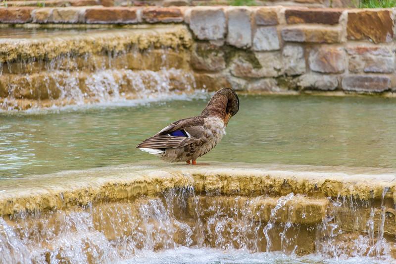 Mallard Duck at Waterfalls in HemisFair Park in San Antonio.