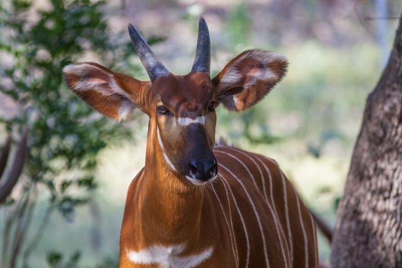 Bongo antelope at Natural Bridge Wildlife Ranch.