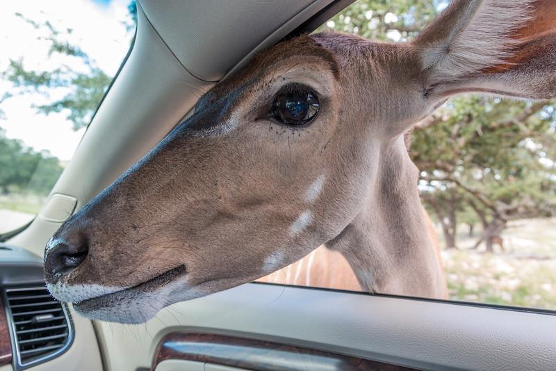 Feeding Kudu at car window in Natural Bridge Wildlife Ranch.