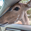 Feeding Kudu at car window in Natural Bridge Wildlife Ranch.