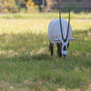 Arabian Oryx at Natural Bridge Wildlife Ranch.