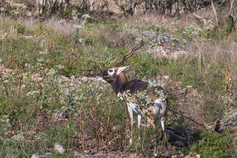 Blackbuck at Natural Bridge Wildlife Ranch.