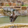 Mallard Duck at Waterfalls in HemisFair Park in San Antonio.