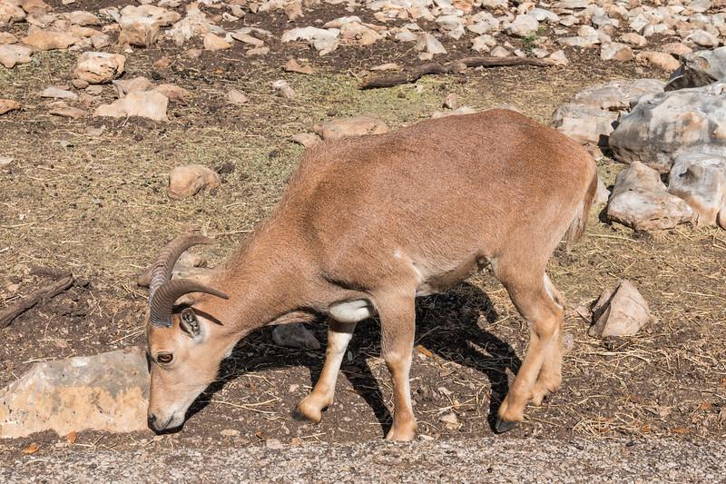 Barbary Sheep, also known as Aoudad, at Natural Bridge Wildlife Ranch.