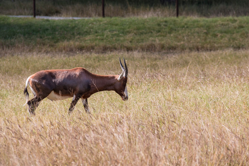 Blesbok at Natural Bridge Wildlife Ranch.