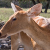 Barasingha at Natural Bridge Wildlife Ranch.