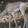 Dama Gazelle at Natural Bridge Wildlife Ranch.