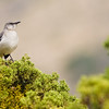 Northern Mockingbird, Mimus polyglottos, in Big Bend National Park
