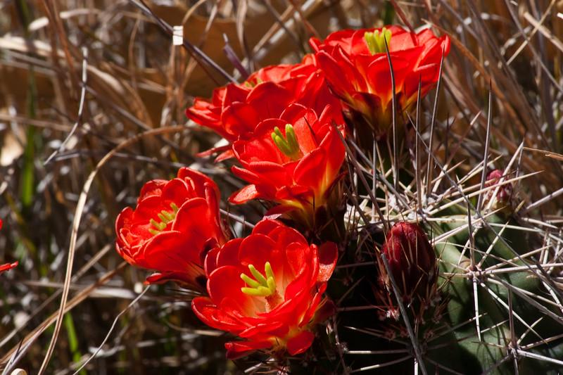 Claret Cup cactus in bloom, Echinocereus triglochidiatus, in Big Bend National Park in Texas.