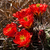 Claret Cup cactus in bloom, Echinocereus triglochidiatus, in Big Bend National Park in Texas.