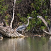 Great Blue Heron, Ardea herodias, at pond at Rio Grande Village, near Big Bend National Park
