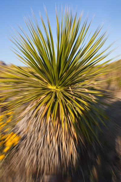Yucca plant in Big Bend National Park in Texas.