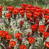 Claret Cup Cactus<br /> Echinocereus triglochidiatus<br /> Cactaceae family, taken at Judge Roy Bean park at Langtry, TX