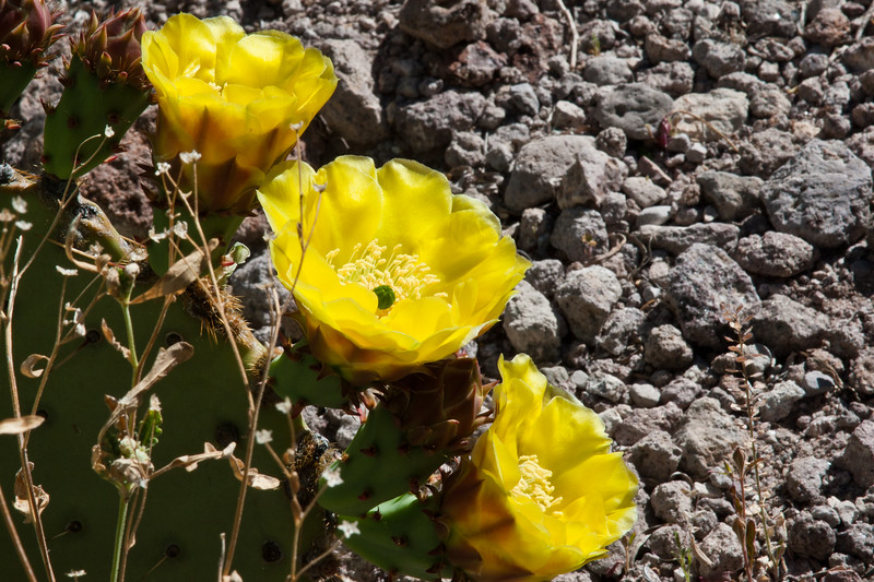 Engelmann pricklypear cactus, Opuntia engelmannii, blooming in Big Bend National Park in Texas.