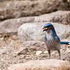 Western Scrub-Jay, Aphelocoma californica, at the Davis Mountains State Park in West Texas.