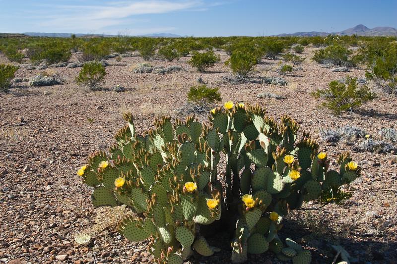 Blind prickly pear cactus, Opuntia rufida, in Big Bend National Park in Texas.
