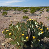 Blind prickly pear cactus, Opuntia rufida, in Big Bend National Park in Texas.