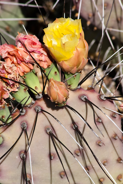 Purple Prickly Pear Cactus, Opuntia violacea, in Big Bend National Park in Texas.