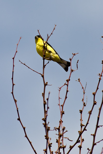Lesser Goldfinch, Carduelis psaltria, beautiful yellow bird at Chisos Basin, in Big Bend National Park