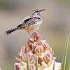 Cactus Wren, Campylorhynchus bruneicapillus, on Yucca plant in Big Bend National Park