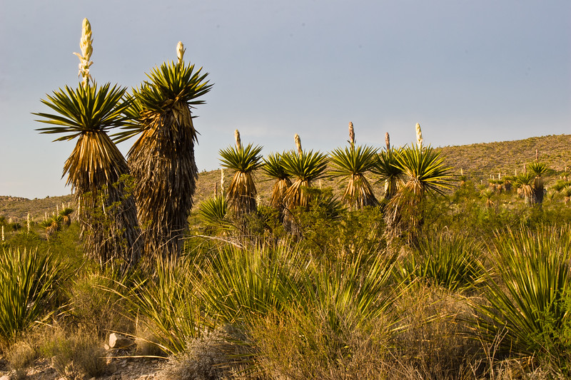 Giant Dagger Yucca, Yucca faxoniana, at Dagger Flats in Big Bend National Park, nearing Sunset