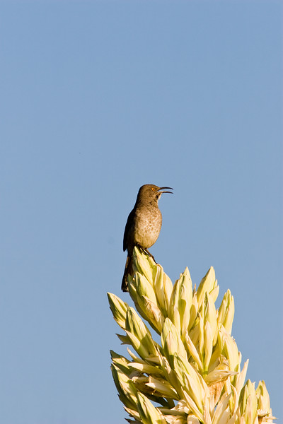 Curve-billed Thrasher,<br /> Toxostoma curvirostre, at Ranger station in Big Bend National Park. Thrasher poses on Giant Dagger Yucca, Yucca carnerosana, or Yucca faxoniana.