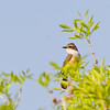 Vermilion Flycatcher, Pyrocephalus rubinus, female, at Rio Grande Village, near Big Bend National Park