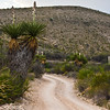 Giant Dagger Yucca, Yucca carnerosana, on Road through Dagger Flats, in Big Bend National Park in Texas.