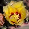 Purple Prickly Pear Cactus bloom, Opuntia violacea, in Big Bend National Park in Texas.