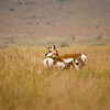 The Pronghorn, Antilocapra americana, is a species of artiodactyl mammal native to interior western and central North America. Though not a true antelope, it is often known colloquially in North America as the Pronghorn Antelope, as it closely resembles the true antelopes of the Old World and fills a similar ecological niche.