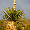 Giant dagger yucca, Yucca carnerosana, (also called Yucca faxoniana, just before sunset in Dagger Flats, Big Bend National Park, in Texas.
