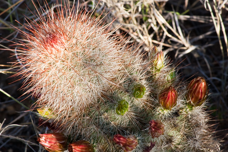 Brown-flowered Cactus, Echinocereus chloranthus, in Big Bend National Park in Texas.