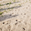 Roadrunner footprints in sand along Rio Grande River bed at Santa Elena Canyon, near Big Bend National Park