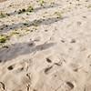 Roadrunner footprints in sand along Rio Grande River bed at Santa Elena Canyon, near Big Bend National Park