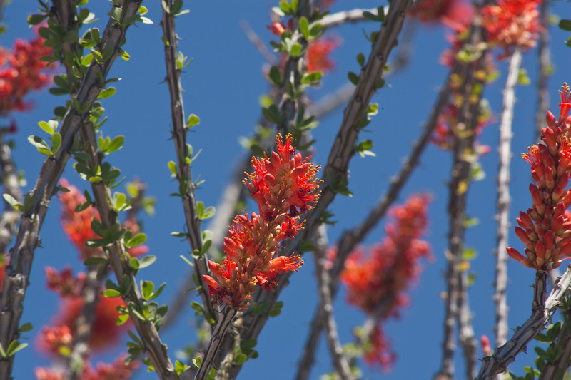 Blooming Ocotillo plant, also called Spider Cactus, Fouquieria Splendens, in Big Bend Ranch State Park in Texas.
