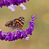 Painted Lady Butterfly, Vanessa cardui, in the town of Fort Davis, rural historic town in southwest Texas.