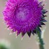 Texas Thistle flower, Cirsium texanum, at Petersen Ranch.