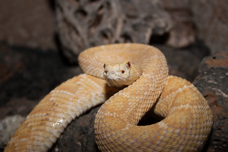Captive Rattlesnake from Buzz's Rattlers and Reptiles near Fort Davis, Texas.