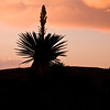 Silhouette of Giant Dagger Yucca, Yucca faxoniana, at sunset in Dagger Flats, in Big Bend National Park