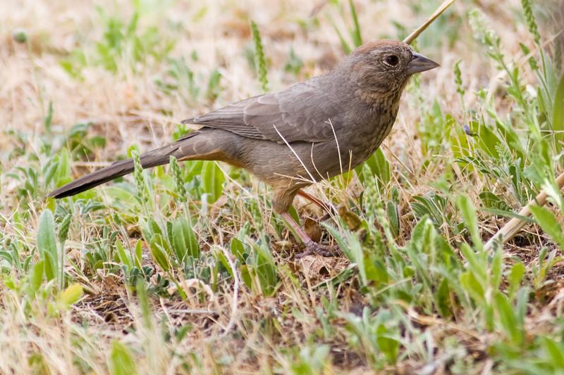 Canyon Towhee bird, Pipilo fuscus, in Chisos Basin in Big Bend National Park