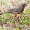 Canyon Towhee bird, Pipilo fuscus, in Chisos Basin in Big Bend National Park