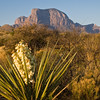 Torrey Yucca, Yucca treculeana Or Yucca torreyi, (also known as Spanish Dagger),  in foreground of Chisos Mountains view just after Sunrise at Green Gulch in Big Bend National Park