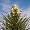 Torrey Yucca, Yucca treculeana<br /> Or Yucca torreyi<br /> (also known as Spanish Dagger)