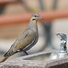 White-winged Dove,<br /> Zenaida asiatica,<br /> on drinking fountain, at Chisos Basis in Big Bend National Park