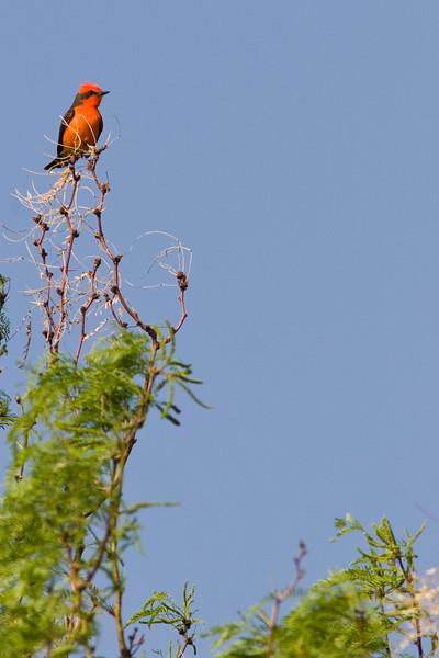 Vermilion Flycatcher, Pyrocephalus rubinus, male, at Rio Grande Village, near Big Bend National Park
