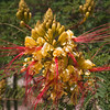 Yellow Bird of Paradise flower, Caesalpinia gillesii, in Big Bend Ranch State Park in Texas.