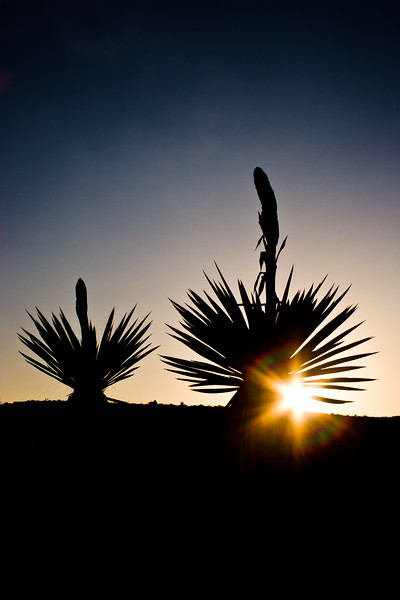 Silhouette of Giant dagger yucca, Yucca carnerosana, (also called Yucca faxoniana, at sunset in Dagger Flats, with starburst or sunburst effect - at Big Bend National Park, in Texas.