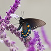 Pipevine Swallowtail Butterfly, Battus philenor, in the town of Fort Davis, rural historic town in southwest Texas.