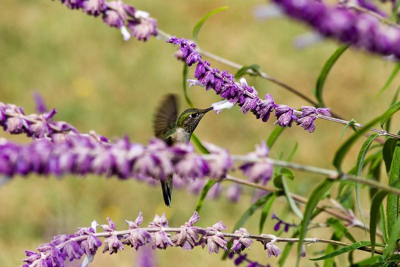 Allen's Hummingbird, Selasphorus sasin, feeding at mexican bush sage plant, in Fort Davis, Texas.